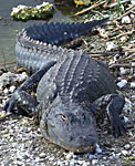 Alligator - Animals - Focused Stock Images .com